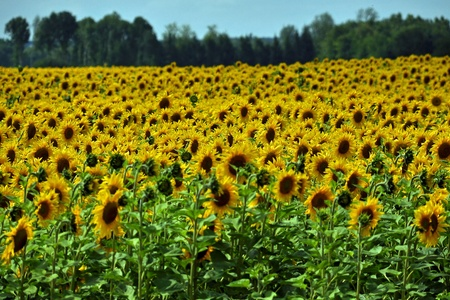 olio: sunflowers, different from one another Stock Photo