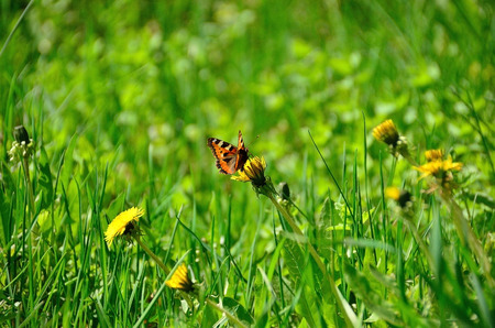 red butterfly on the green field with yellow flowers Stock Photo