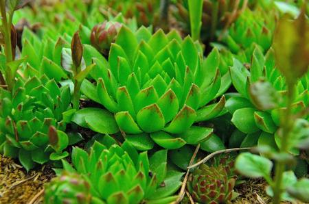Green sempervivum grows in the garden Stock Photo