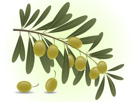 foglie ulivo: Di olive verdi ramo