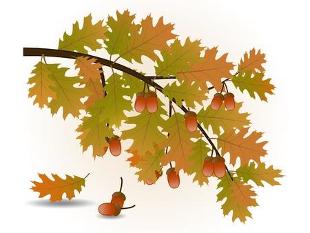 Oak branch with acorns Stock Vector - 15590328