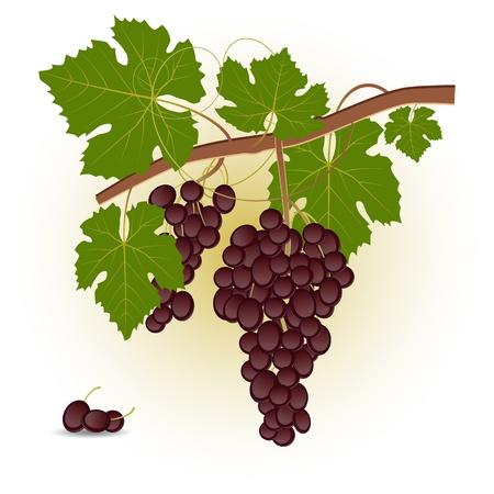 Branche de raisin rouge