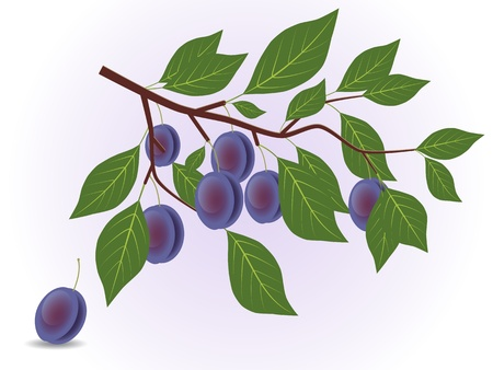 Blue plum branch Illustration