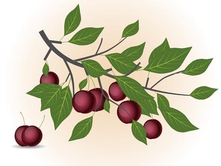 Red plum branch Stock Vector - 15764350