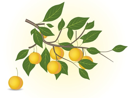 Yellow plum branch Stock Vector - 15764348