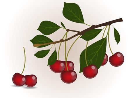 ramo di ciliegio: Ramo di ciliegio