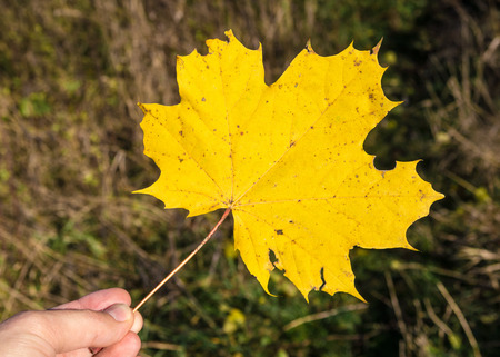 Autumn structure in forest - maple leaf