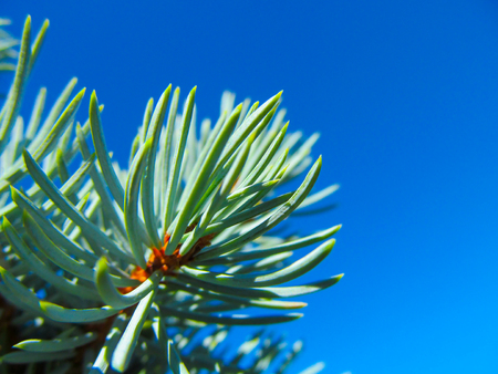 Spruce tree close-up. Bright background of sunlight against blue sky - Christmas wallpaper concept. Archivio Fotografico