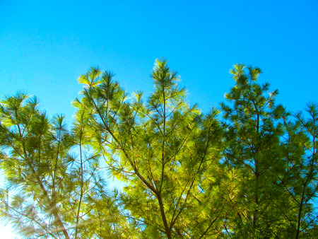 Pine tree close up. Bright background of sunlight against blue sky - Christmas wallpaper concept.