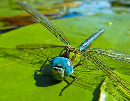 Dragonfly on green water leaf. Close-up view of a beautiful insect in the nature habitat outdoor.