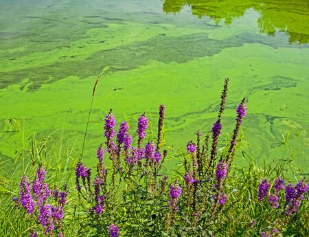 Water landscape with blue-green algae surface. Natural view of lake, swamp or river with blooming Cyanobacteria. It is world environmental problem and ecology concept of polluted nature. Reklamní fotografie