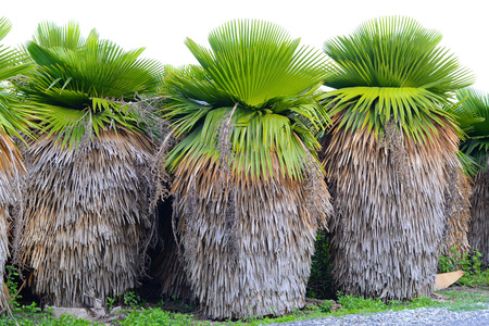 Cuban Petticoat Plam tree
