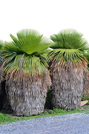 petticoat: Cuban Petticoat Plam tree