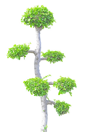 plant growth: Streblus asper tree