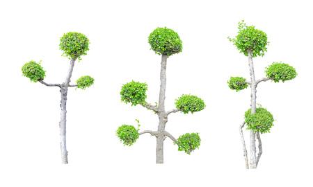 Streblus asper tree  group