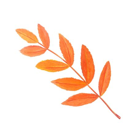 Colorful rowan leaf in beautiful style isolated on white background. Botanical illustration. Autumn watercolor collection. Design element.