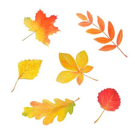 Colorful autumn foliage in beautiful style isolated on white. Botanical illustration. Autumn watercolor set. Maple leaf, oak leaf, rowan leaf, birch leaf, aspen leaf, chestnut leaf.