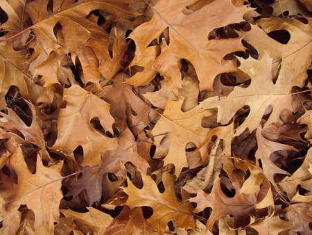 Shumard oak autumn leaves background Stock Photo