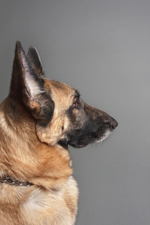 Female German Shepherd Dog profile on grey background photo