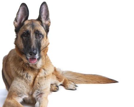 obedient: Female German Shepherd Dog on white laying down Stock Photo