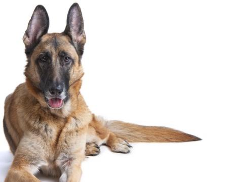 perro policia: Mujer perro de pastor alem�n blanco en el que se establecen Foto de archivo
