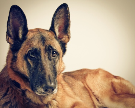 A Female German Shepherd Dog at rest  photo