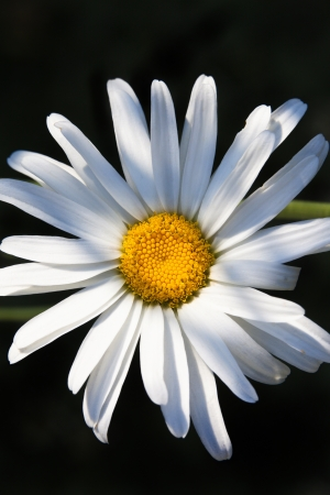big daisy: One happy, big, bright and beautiful daisy flower