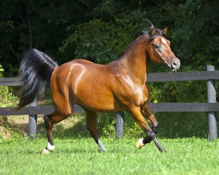Full body Arabian horse trotting