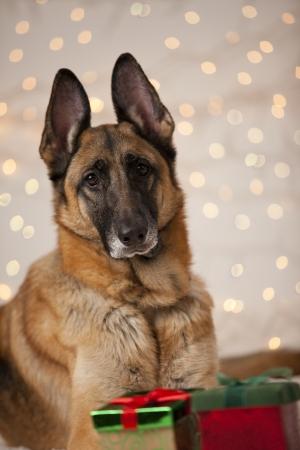 puta: Hembra de pastor alemán retrato Perro con fondo de vacaciones