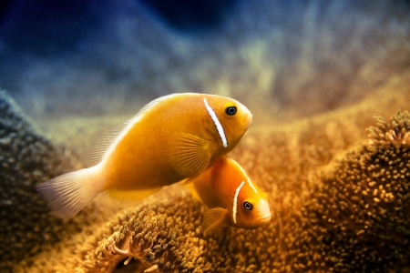 Two clownfish together and their anemone underwater in their marine environment