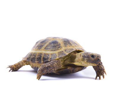 Isolated Russian tortoise isolated on white  Stock Photo