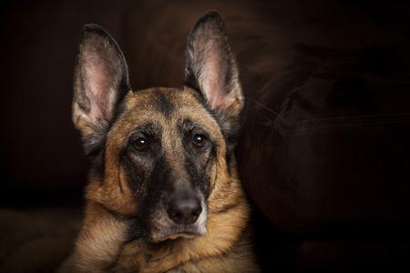 Female German Shepherd Dog looks alert portrait with eyes in focus