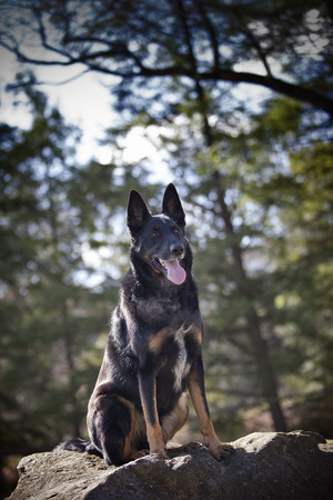 alsatian shepherd: An alert, large, male German Shepherd Dog Malinois mixed breed sits and pants on a large rock in the woods outside.