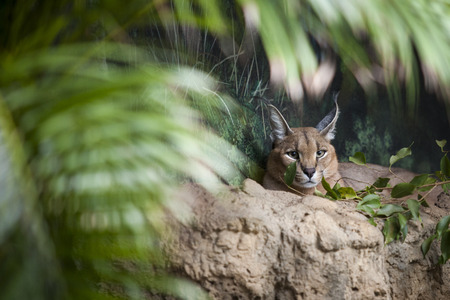 One African Cacaral cat rests on desert rocks within an indoor exhibit.