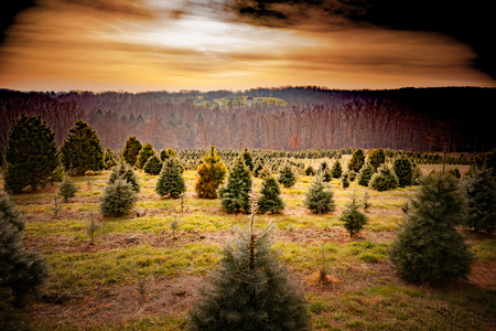 Filtered image of Christmas tree farm outside with trees of many different shapes, sizes, and species.