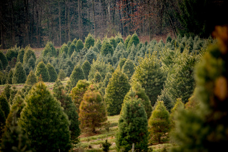 multiple: Christmas tree farm with many pine trees of different shapes, species, and sizes. Stock Photo