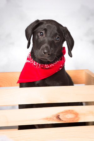 red bandana: One little black labrador puppy wearing red bandana sits and looks from a wooden crate