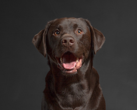 One male Chocolate Labrador Retriever dog portrait black background Stock Photo