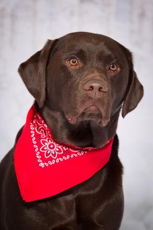 chocolate labrador retriever: One male Chocolate Labrador Retriever dog portrait winter theme