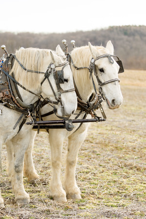 Two white harnessed percheron draft horses in the countryside