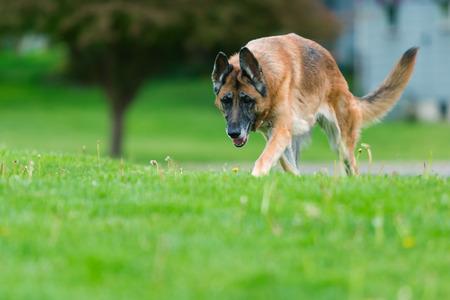 german shepherd on the grass: Old purebred German Shepherd Dog outside in grass. Summertime. Stock Photo