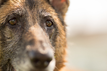 face close up: German Shepherd Dog close up of eyes and face Stock Photo