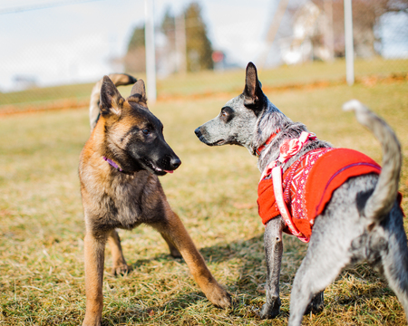 Two dogs, a young Belgian Malinois and a Blue Heeler wearing sweater are introduced at a dog park. Puppy socialization.