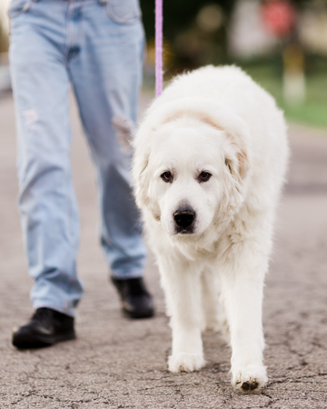 great pyrenees: A Great Pyrenees dog walking on a loose leash with his owner down the street. Stock Photo
