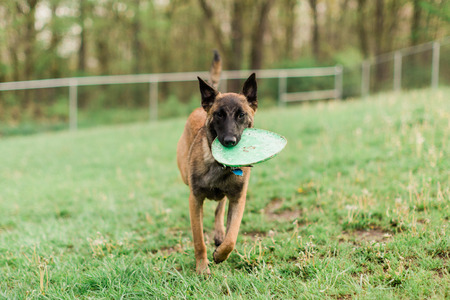 One Male Belgian Malinois playing in grassy park