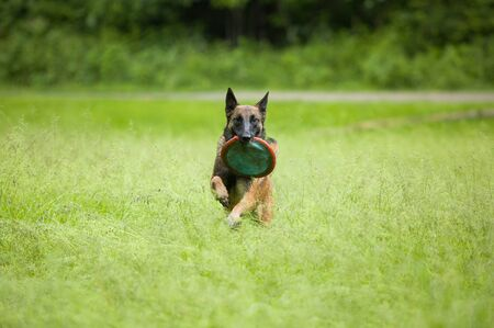 Playful and happy Belgian Malinois dog running outside retriving flying disc. Exercising playing Fetch.