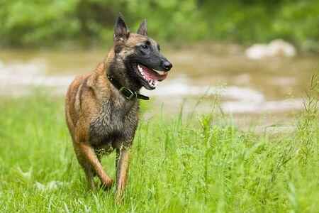 Playful happy wet Belgian Malinois shepherd dog running outside in grassy meadow by creek.
