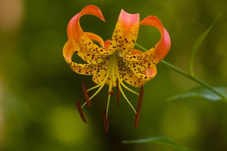 Wild beautiful orange tiger lily outside in nature.