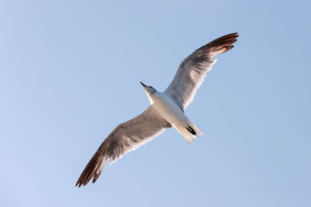 One Great black-backed gull flying wings spread viewed from below.