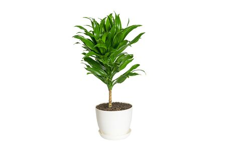 green fragrant dracaena plant isolated on white background House plant, home decor concept. Stock Photo